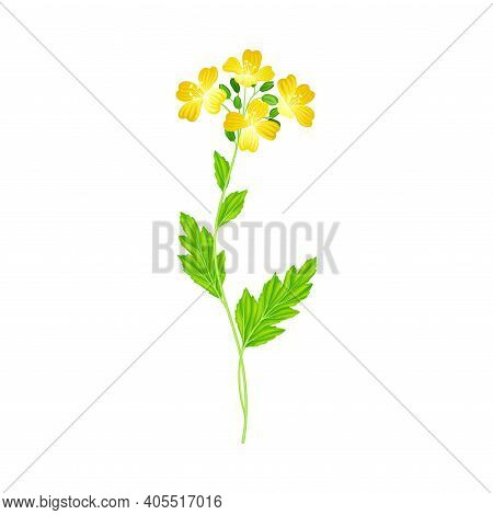Mustard Flowering Plant Specie With Yellow Flowers Vector Illustration