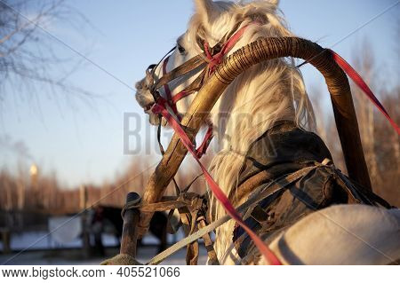 Two White Horses Harnessed To A Sleigh In The Winter Forest