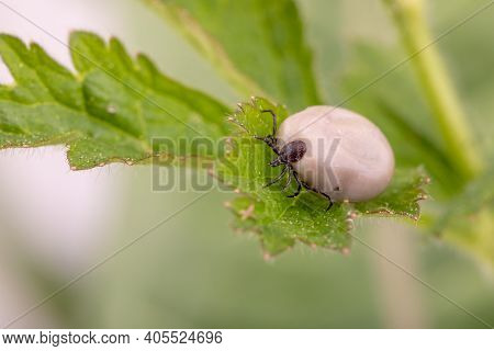 Tick (ixodes Ricinus) Walks On Green Leaf. Danger Insect Can Transmit Both Bacterial And Viral Patho