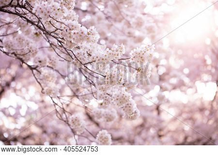 Cherry blossoms in small round clusters with light incoming through the background cherry blossoms.  Intentionally shot with shallow depth of field for dreamy feel.