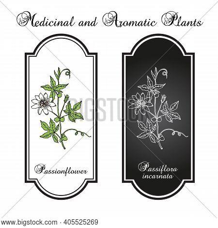 Purple Passionflower Passiflora Incarnata , Medicinal Plant. Hand Drawn Botanical Vector Illustratio