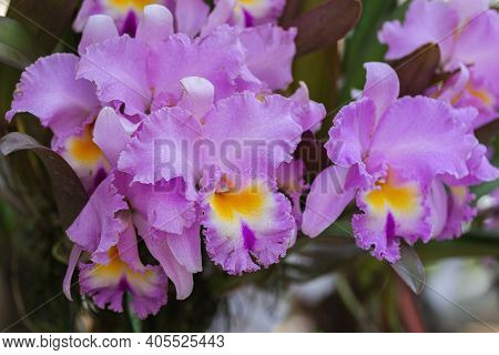 Orchid Flower In Orchid Garden At Winter Or Spring Day. Orchid Flower For Beauty And Agriculture Des