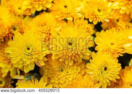 Chrysanthemums Flower. Flower In Garden At Spring Day. Flower For Decoration And Agriculture Concept