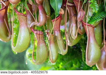 Nepenthes Tropical Carnivore Plant In The Garden. Nepenthes At Green House. Nepenthes Growing For De
