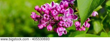 Lilac Bush Over Nature Background. Lilac Flowers In Garden Or Park. Nature Background, Banner.natura