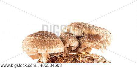 Shiitake mushroom isolated on white background.   mushroom  grown on a substrate at home from mycelium