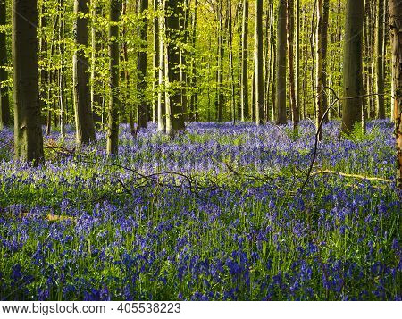 Gorgeous Bluebell And Beech Woodland, Hallerbos, Belgium