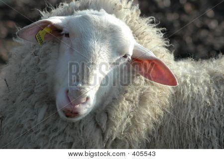 close-up of sheep poster