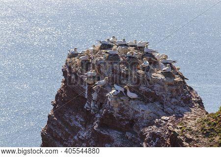 Northern Gannet - Morus Bassanus - Sula Bassana - Seabird Sitting On A Tip Of A Mountain That Protru