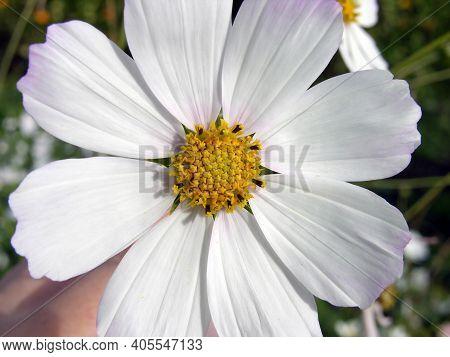 Cosmeya Flower. Cosmos. White Macro. Core. Flower Device.