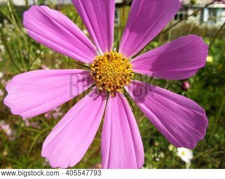 Cosmeya Flower Pink. Cosmos. Macro. Core. Flower Device.