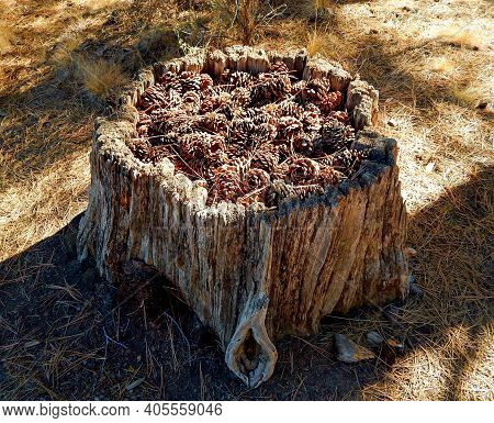 Pine Cone Holder - A Stump Scene In The Woods By Big Eddy Along The Deschutes River - Near Bend, Or