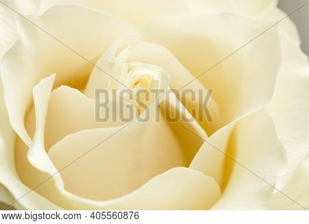 White Chocolate Or Creme Rose Petals Close Up With Soft Focus.