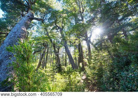 Unusual Araucaria (Araucaria araucana) trees in Andes mountains, Chile