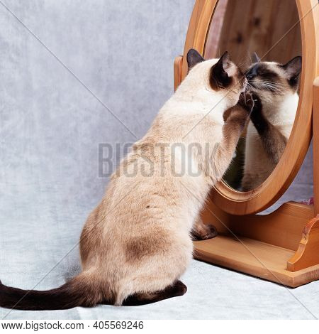 The Cat Looks At Itself In A Wooden-framed Desk Mirror. Funny Thai Cat Does Not Recognize Itself In