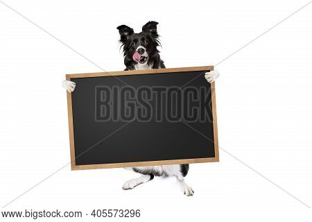 Standing Border Collie Dog Holding A Blank Banner,placard Or Blackboard, Isolated On White Backgroun