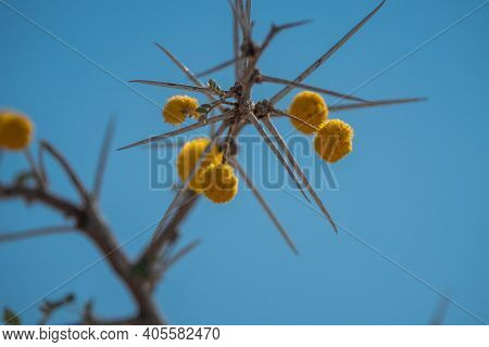 Water Acacia Or Water Thorn Blooming With Yellow Blossoms In Etosha National Park, Namibia, Africa,