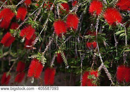 Red Flowers Of The Crimson Bottle-brush (callistemon Citrinus)