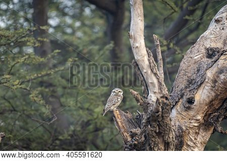 Spotted Owl Or Owlet Or Athene Brama Perched On Tree In Natural Green Background During Safari At Fo