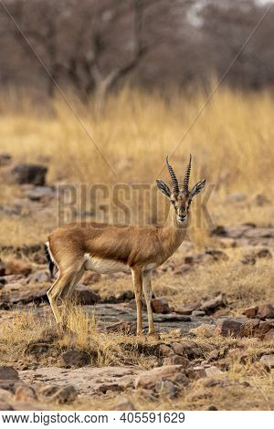 Chinkara Or Indian Gazelle Or Gazella Bennettii A Vulnerable Animal Portrait With Eye Contact In Ope