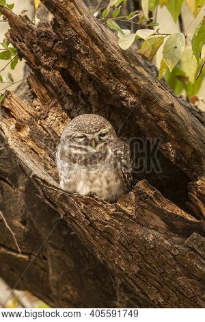 Spotted Owl Or Owlet Or Athene Brama Resting In Nest During Safari At Forest Of Central India