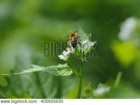 Honey Bee, Spring Background. Bee Sits On A Green Leaf. Green Leaves And Small White Forest Flowers.