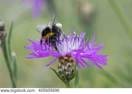 Bumblebee Collects Nectar From Pink Wildflower In Green Grass. Centaurea Jacea Flower And Black Furr