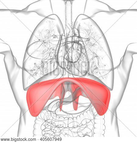 Diaphragm Human Respiratory System Anatomy For Medical Concept 3D Rendering