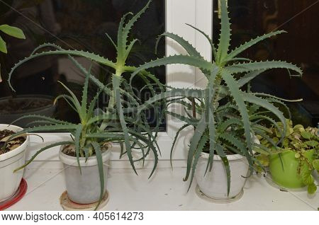 Rosette Of Lush Green Leaves Of Aloe Arborescens. Useful Medicinal Plant.