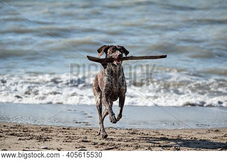 Brown Shorthaired Pointer With White Spots Running Along Beach And Holding Stick In His Mouth. Germa