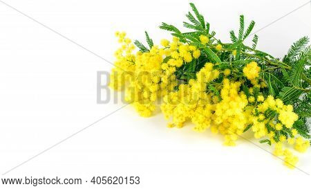 Branches Of Fresh Spring Flower Mimosa On The White Background Closeup, Isolated. Present And Greeti