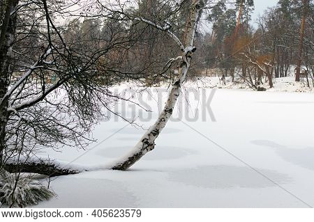 Unusual Crooked Birch Tree Trunk In Snow. Scenic Landscape Of Frozen Lake And Shore In Snow. Scenic