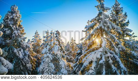 Top of firs in beautiful winter forest at sunset time