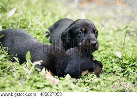 Cute Dachshund Puppies Lying In The Backyard, Cuddle And Play With Newborn Siblings, Explore, Watch