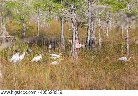 White Egrets, ibis, spoonbill in the  Everglades National Park, Florida, USA