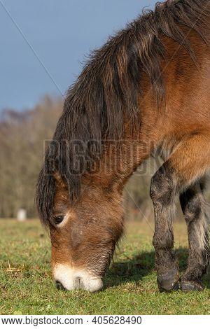 One Wild Chestnut Color, Exmoor Ponie, Equus Ferus Caballus, Graze In A Nature Reserve