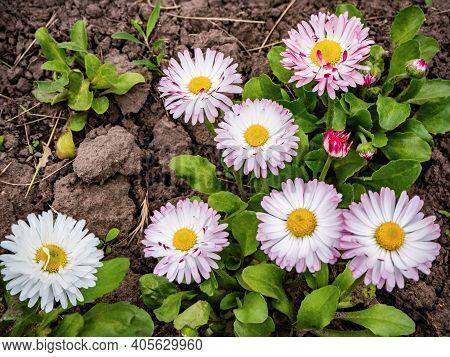 Spring Marguerite Daisy Flower (bellis Annua) In The Garden Close-up, Outdoor
