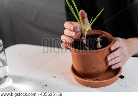 Young Millennial Woman Planting Onion Herbs At Home In A Pot. Home Gardening Hobby. Zero Waste Susta