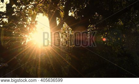Star Shape Blur Sun With Golden Shiny Long Rays And Sun Flare Among Tree Branches With Fresh Leaves.