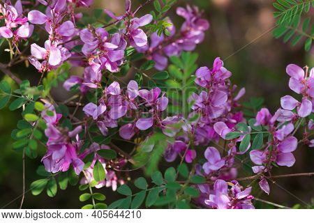 Violet Flowers Of Indigofera Tree Or Shrub, Selective Focus.