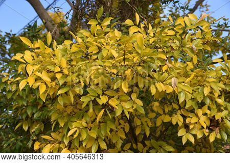 Chinese Hackberry Yellow Leaves / Cannabaceae Deciduous Tree