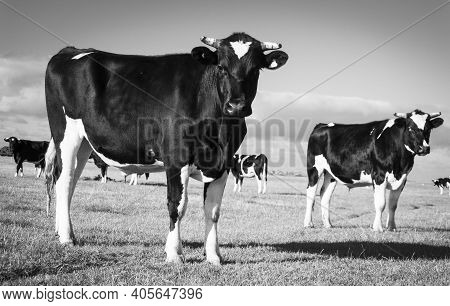 Black And White Friesian Cows In Field In Southland New Zealand.
