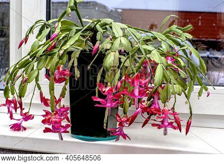 Pink Christmas Cactus Flower With The Latin Name Schlumberger On The Windowsill