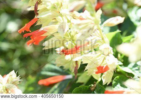 Salvia Flowers / Lamiaceae Native To Brazil Plant