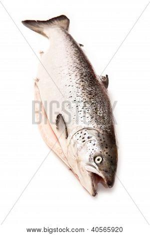 Scottish Atlantic Salmon