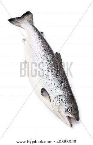 Whole salmon fish on a white studio background.