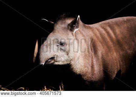 South American Tapir, Tapirus Terrestris, Also Brazilian, Amazonian, Maned And Lowland Tapir. In War