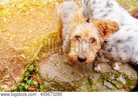Nice Cross Breed Dog With Foxterrier From A Top View