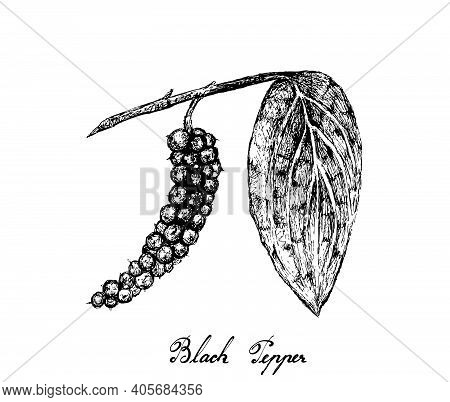 Herbal Plants, Illustration Of Hand Drawn Sketch Black Pepper Or Peppercorn, Used For Seasoning In C