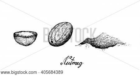 Herbal Plants, Hand Drawn Illustration Of Fresh Nutmeg Or Myristica Fragrans Fruits Used For Seasoni